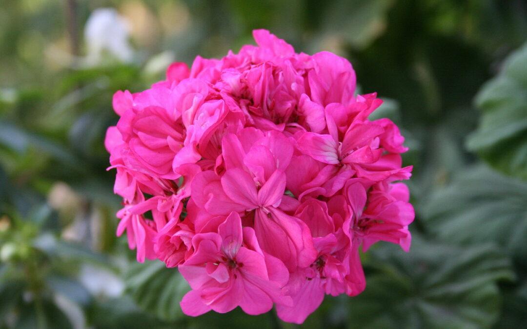 Quer ter  flores sempre em vasos e no jardim? Cultive gerânios