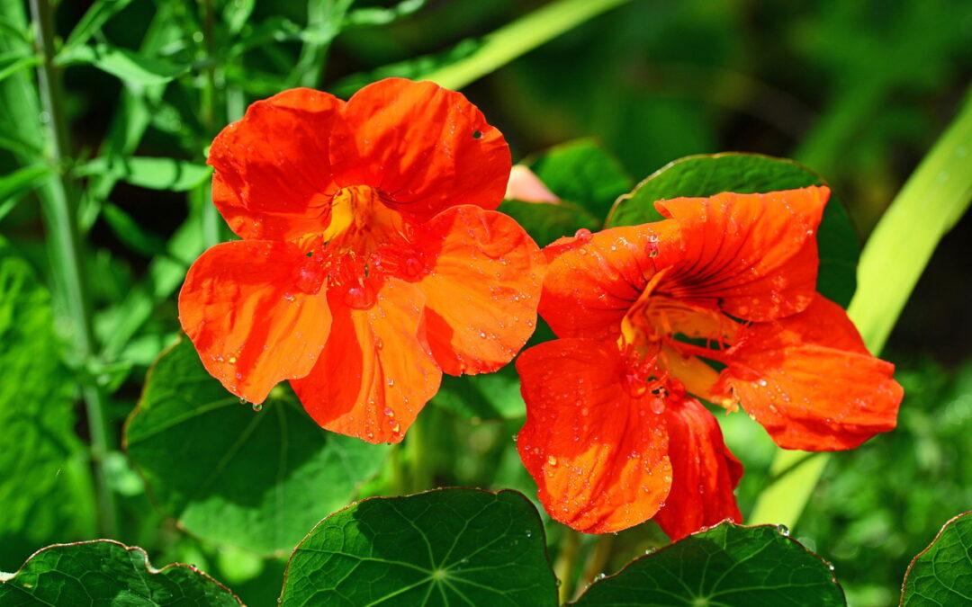 Sabia que existem flores que são comestíveis e saborosas?