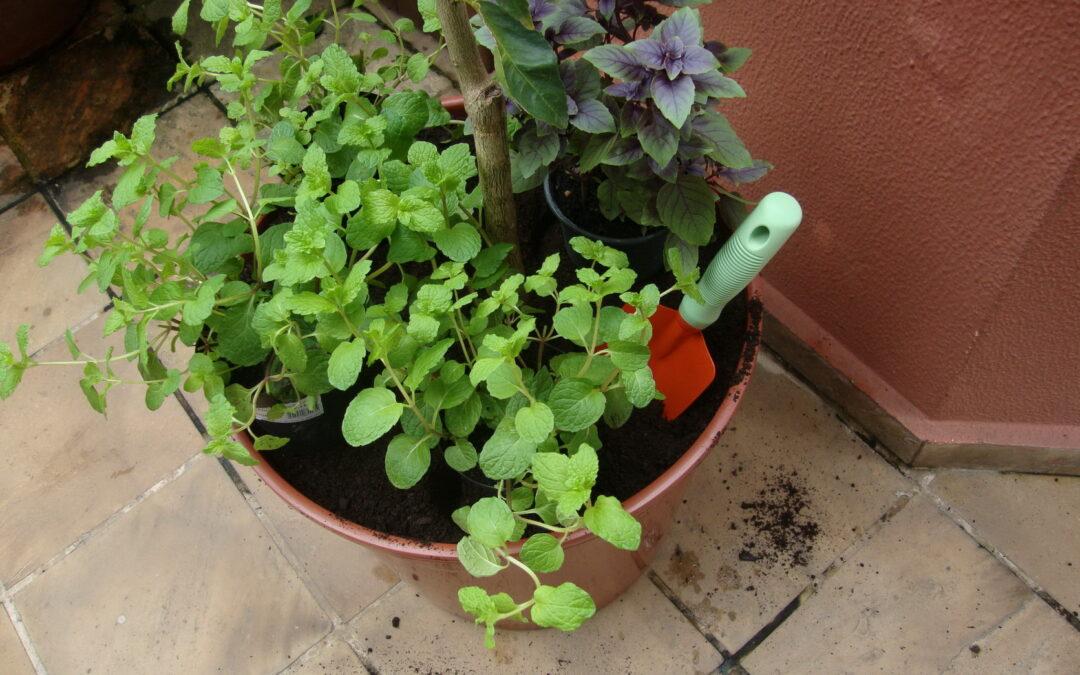 Cultive frutíferas e temperos em vaso: dicas para plantio de limoeiro, hortelã e manjericão