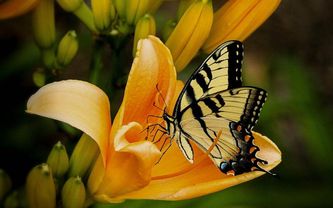 Borboletas no jardim: polinizam as flores e indicam a qualidade ambiental