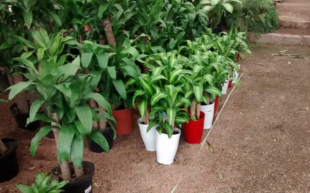 Dica de planta para cultivar dentro de casa: Dracaena fragans -pau d'água