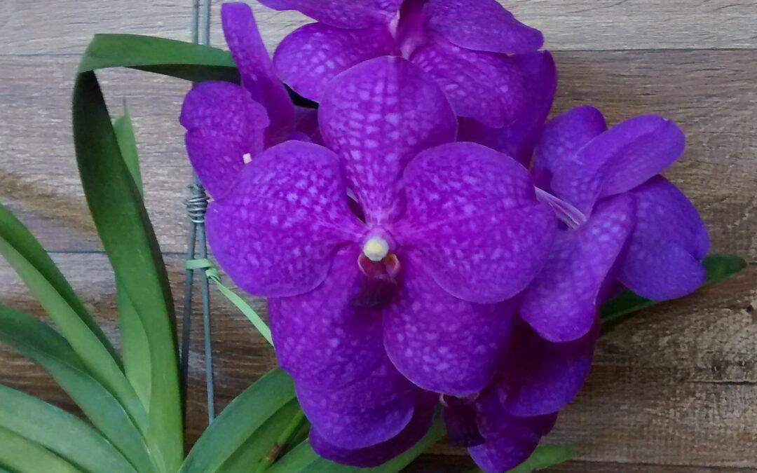 Orquídea aérea: presenteie com flores no dia das mães