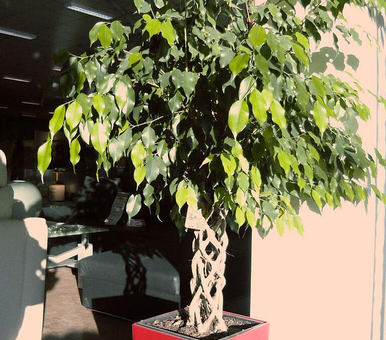 Cuidado com árvores que entopem canos como o Ficus benjamina!