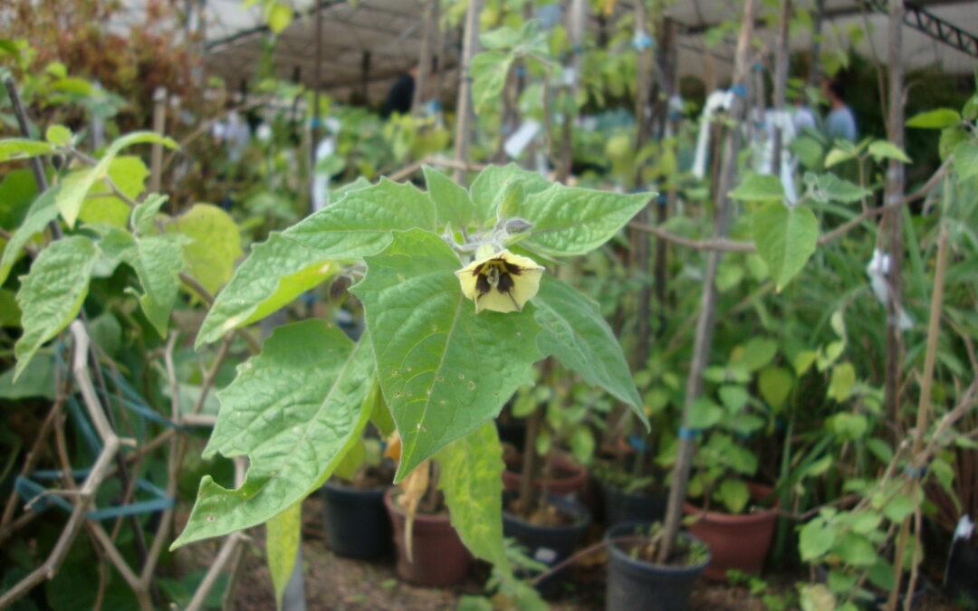 Conheça a planta Fisális, muito fácil de cultivar e com fruto saboroso