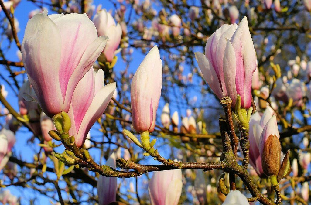 Flores do frio: as magnólias colorem o inverno de cor-de-rosa