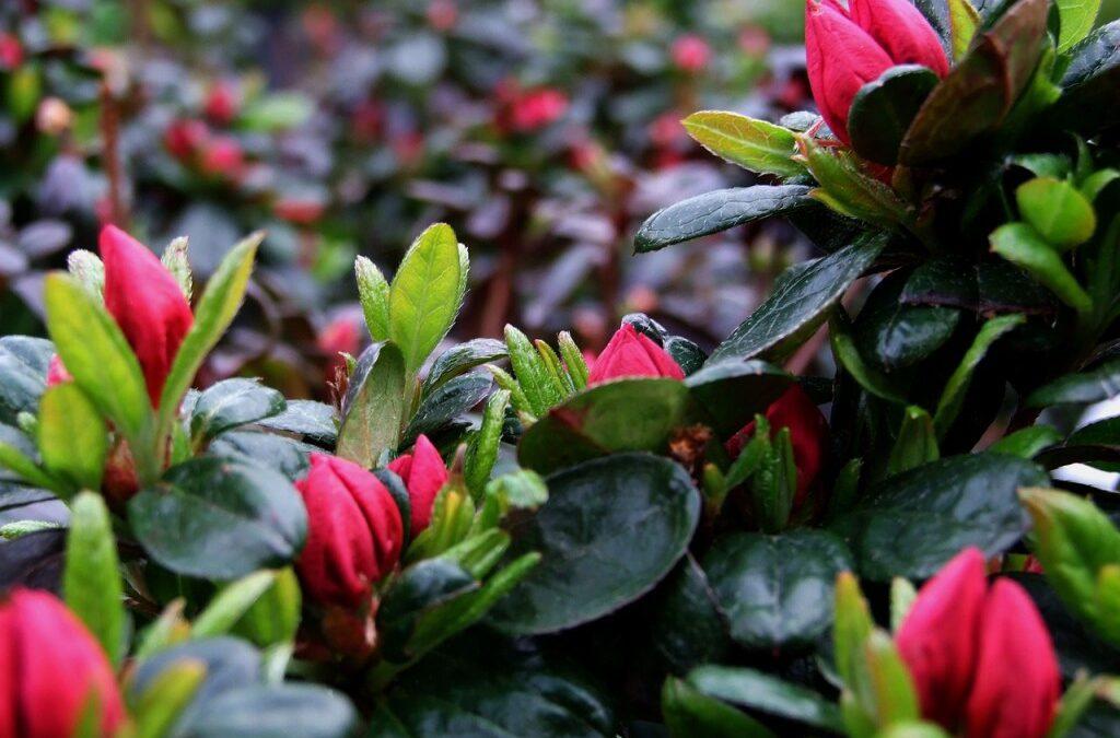 Cores no jardim: Azaléas começaram  a florescer
