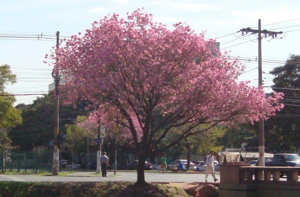 Conheça a árvore com flores rosas que anuncia a primavera antecipada