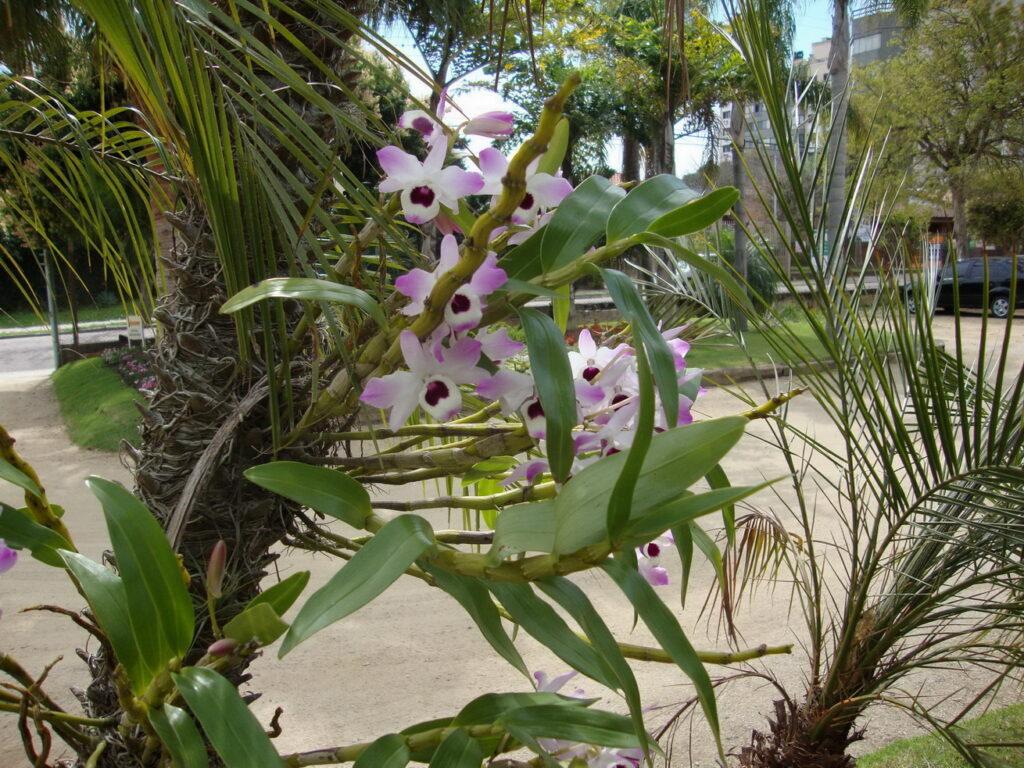 Dendrobium nobile 1