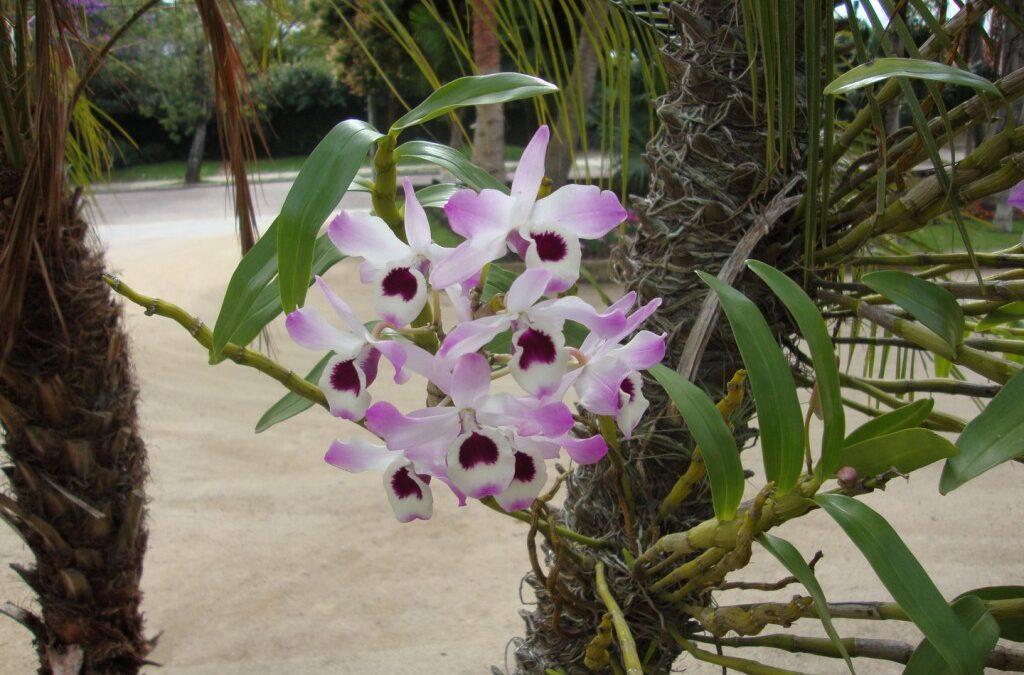 Conheça a orquídea que mais floresce