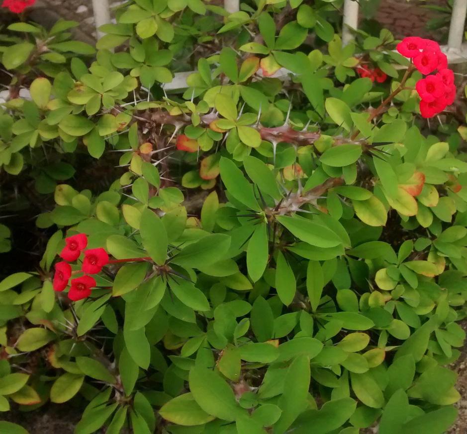 Euphorbia milii - coroa de-espinho, coroa de cristo