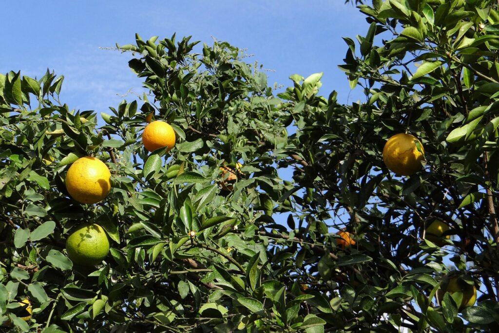 orange-tree-272624_1280