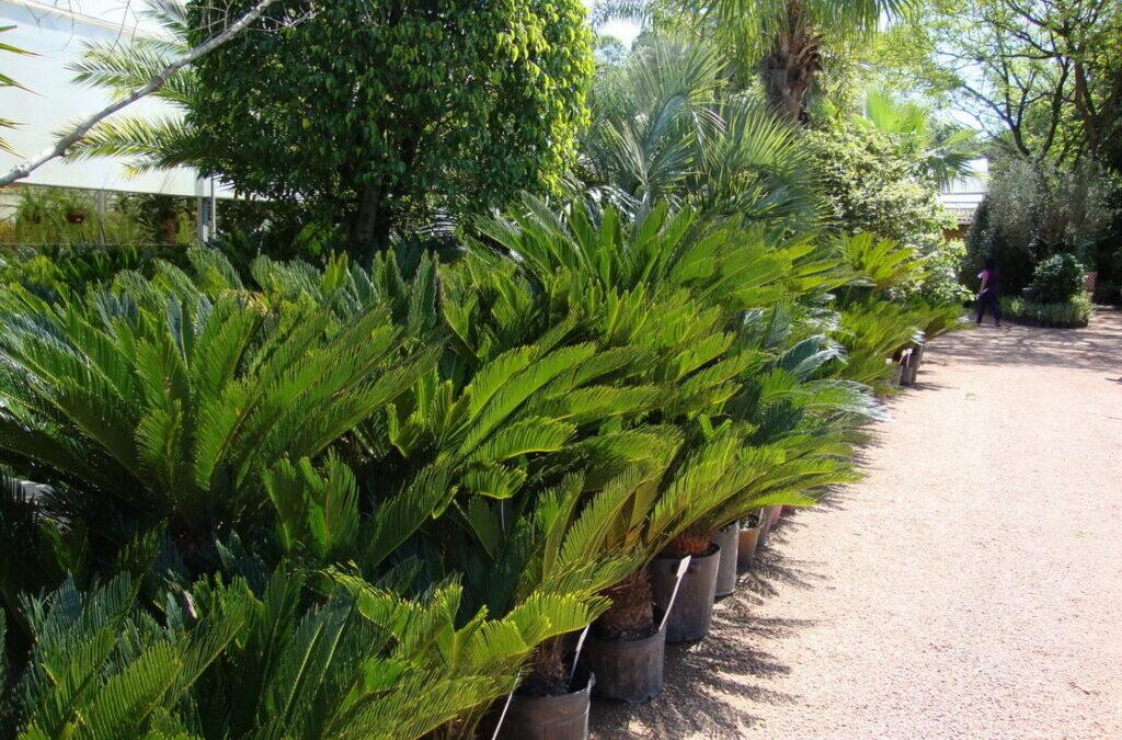 Cica: uma planta resistente e elegante para o jardim