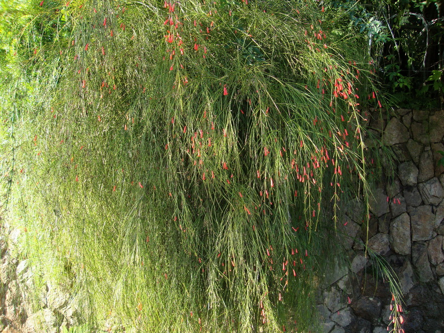 Russelia equisetiformis - flor de coral