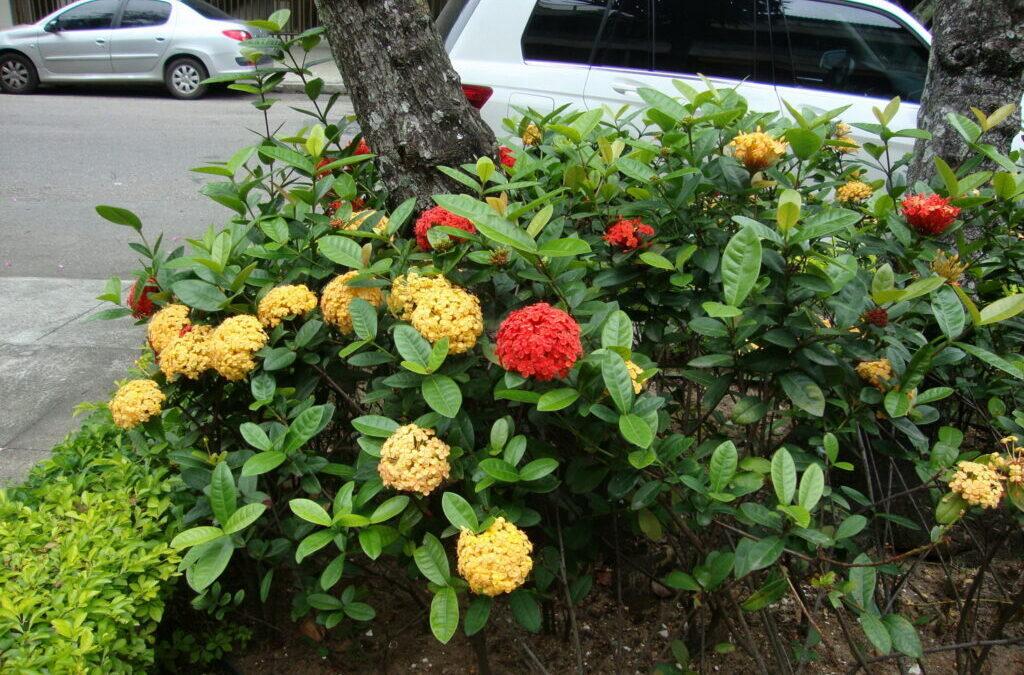 Colorindo o jardim com Ixora, arbusto florido que enfeita o jardim