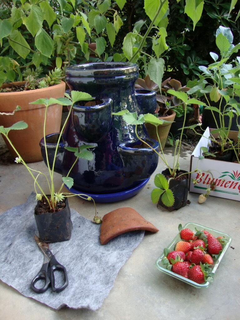 plantio morangos 2