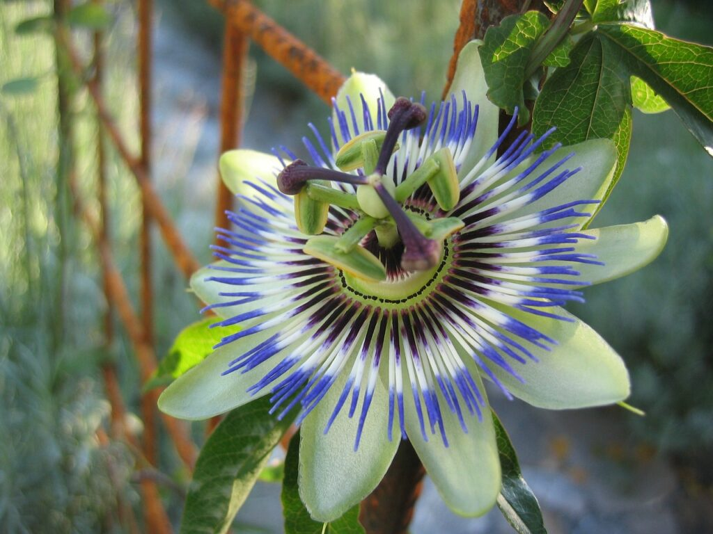 passion-flower-191583_1280