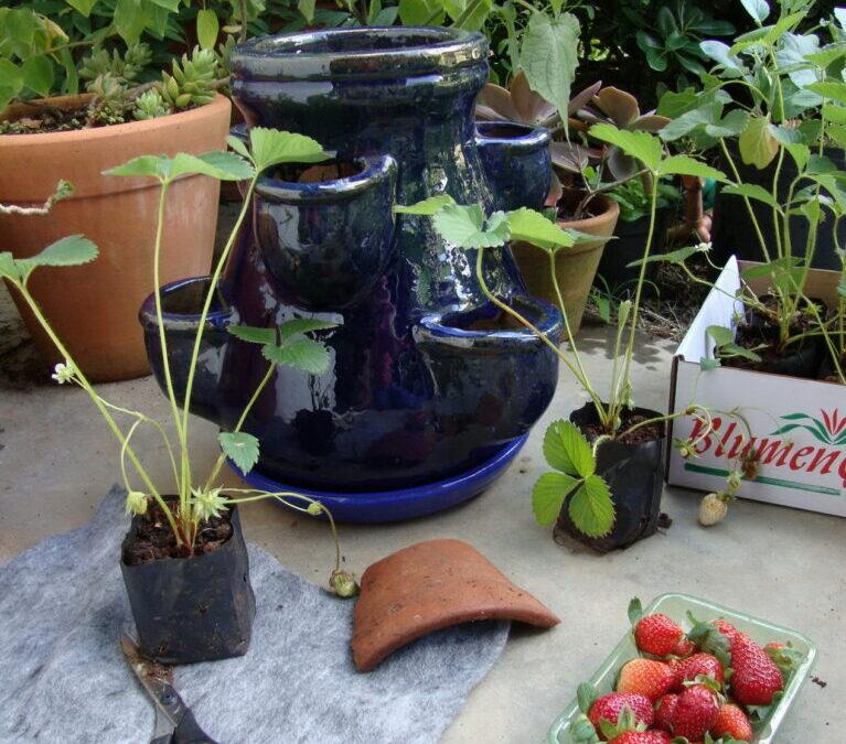 Morangos podem ser plantados em vasos, basta ter sol!