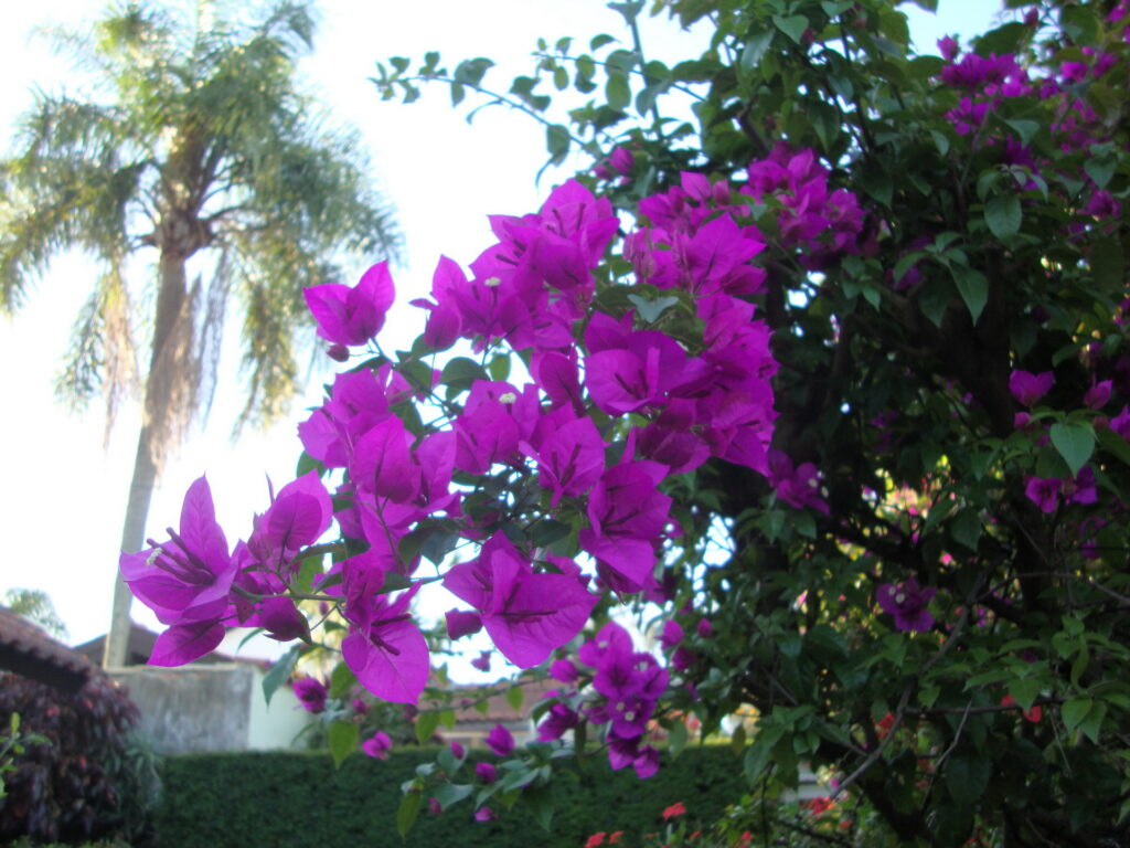 Bouganvilea spectabilis - tres marias- flor