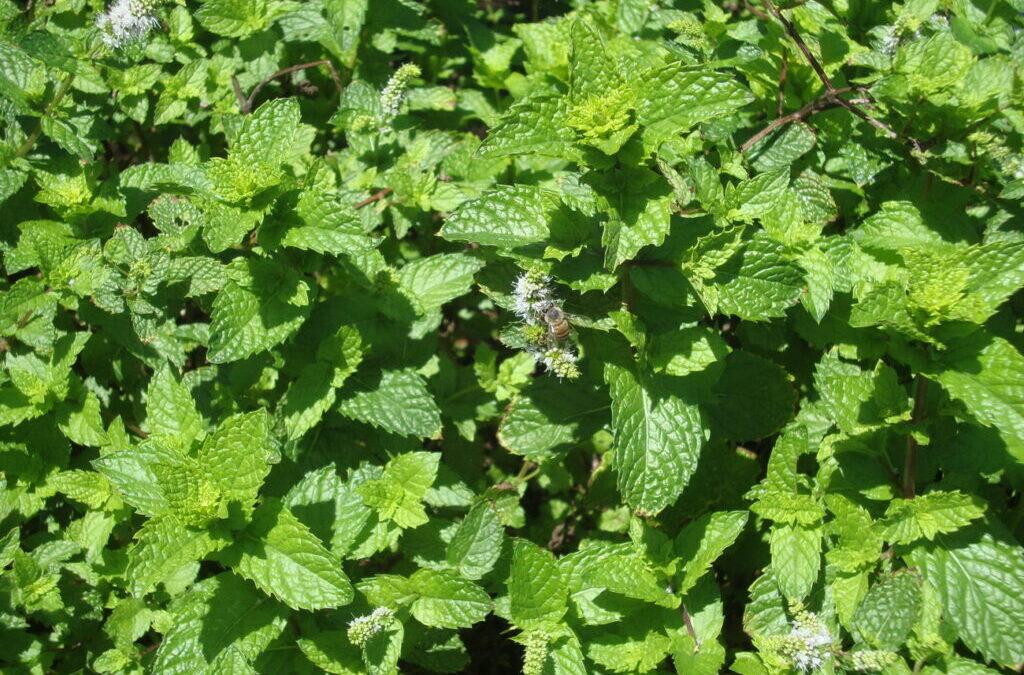 Suco de couve e hortelã cultivadas no jardim é super saudável