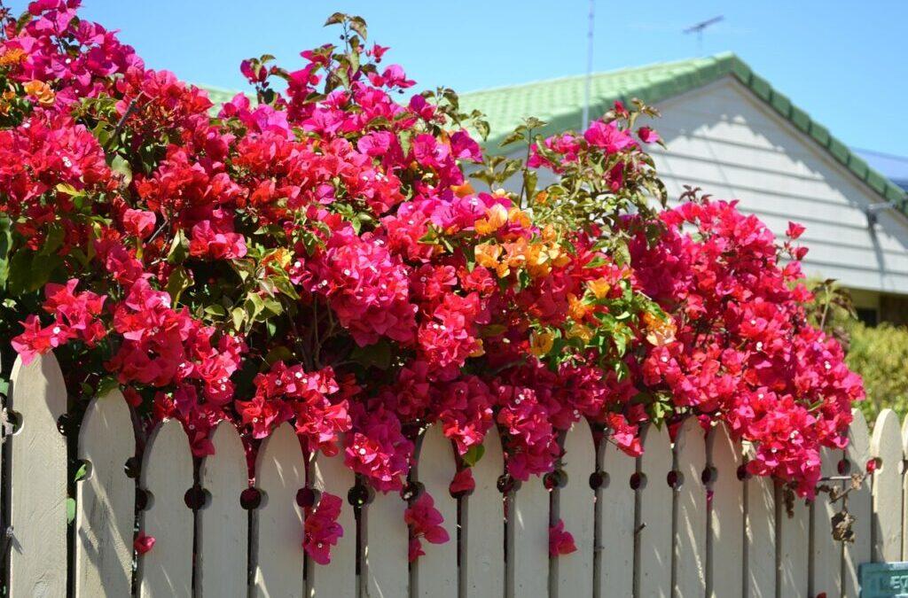 Flores sempre: cultive a planta Bouganvilea