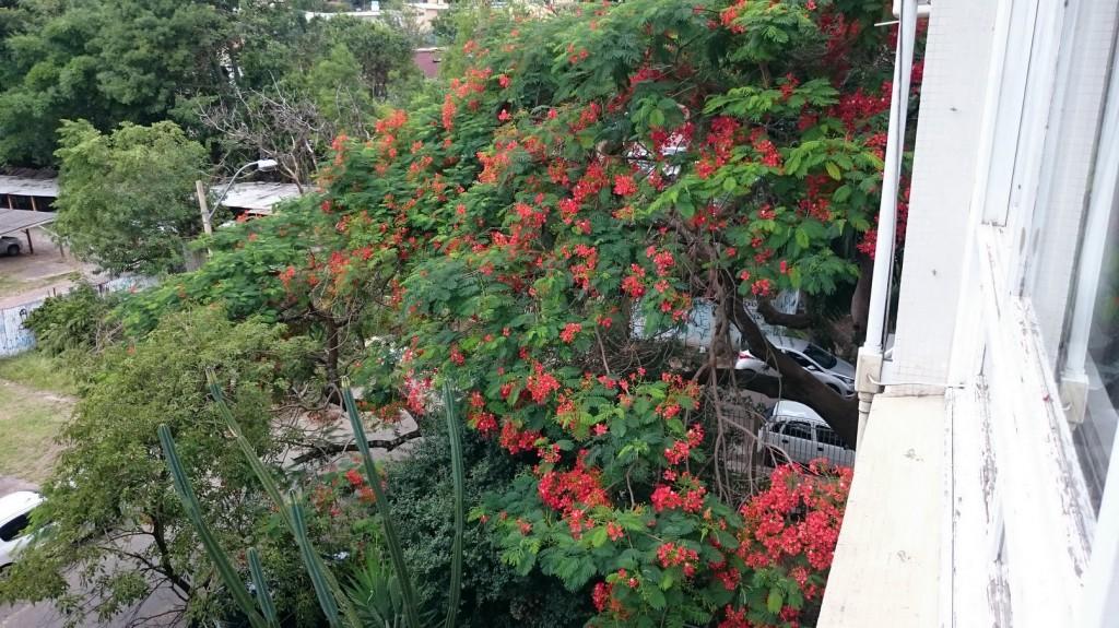 A árvore colorida do verão é o Flamboyant