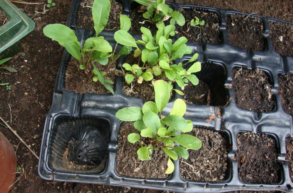 Vamos plantar rúcula em casa sem agrotóxicos?