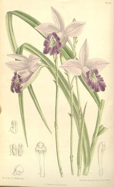 366px-Arundina_graminifolia_(as_Arundina_bambusifolia,_spelled_bambusaefolia)_-_Curtis'_119_(Ser._3_no._49)_pl._7284_(1893)