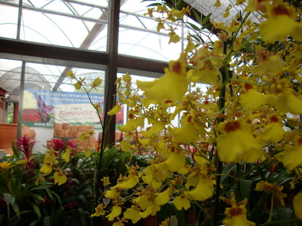 orquídea Oncidium, nativa do sul e dá muita flor