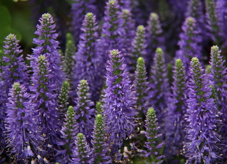 Bem estar:  plante lavandas para ter flores perfumadas no jardim