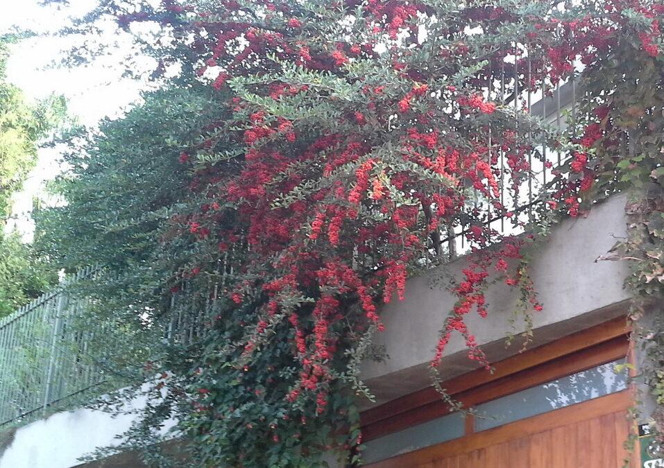 Cerca-viva: arbusto com espinhos, frutos e flores que atraem pássaros e abelhas