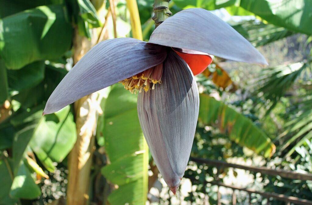 Banana é saúde no jardim de casa!