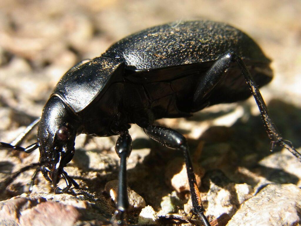 beetle-54479_1280