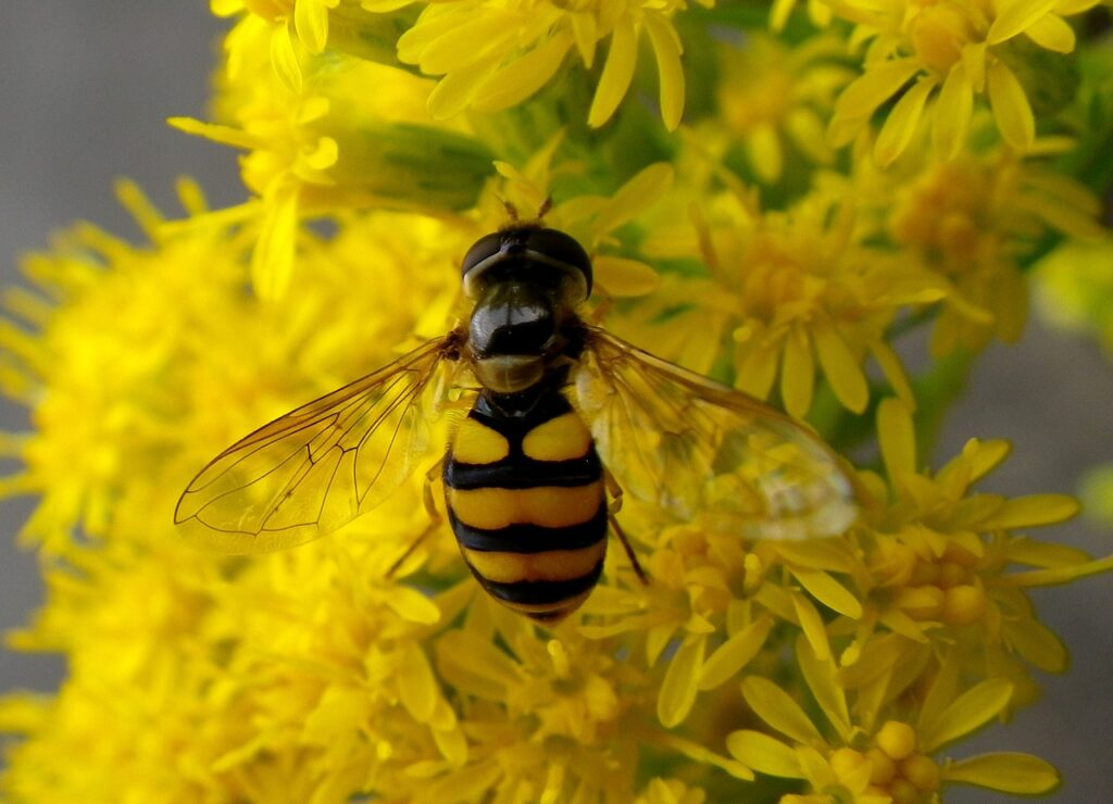 hoverfly-1286856_1280