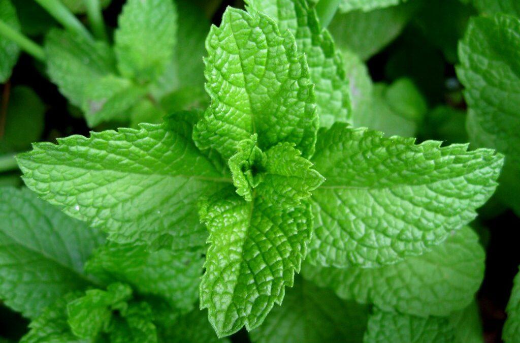 Receita de saúde: plante couve e hortelã e faça suco verde sem agrotóxicos