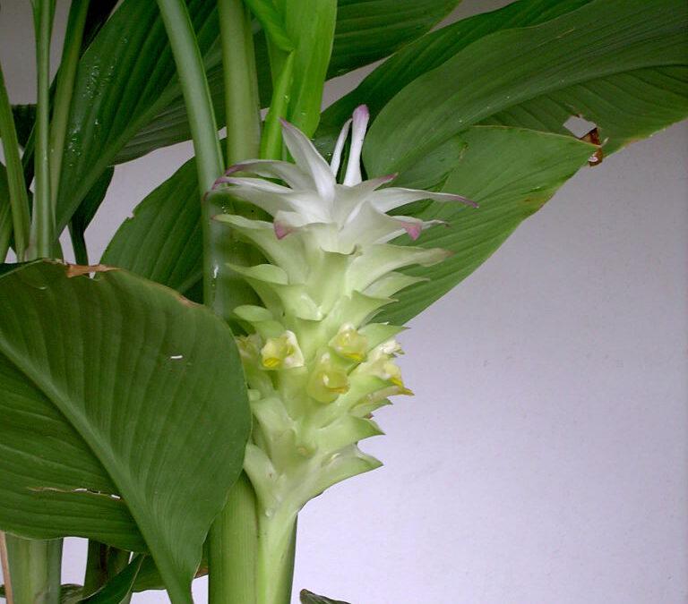 Cúrcuma: cultive esta planta medicinal e tempero poderoso