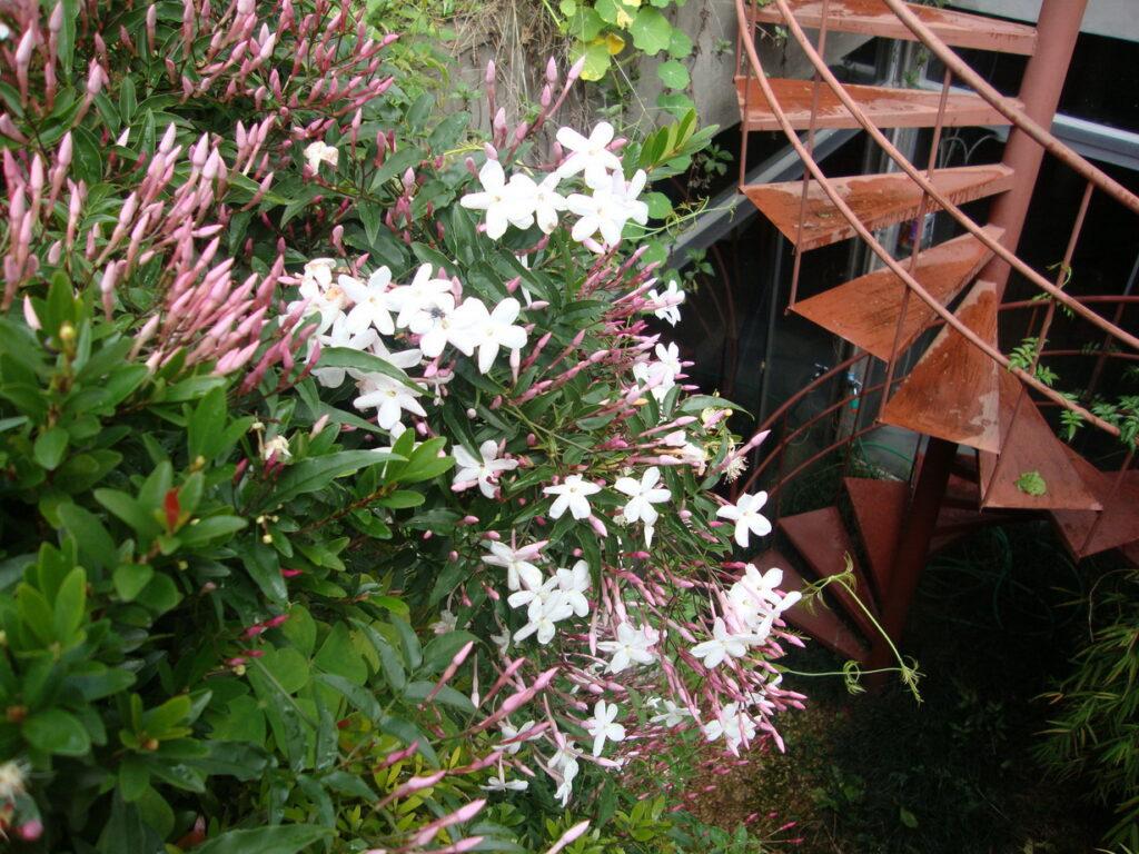 flores do jasmim