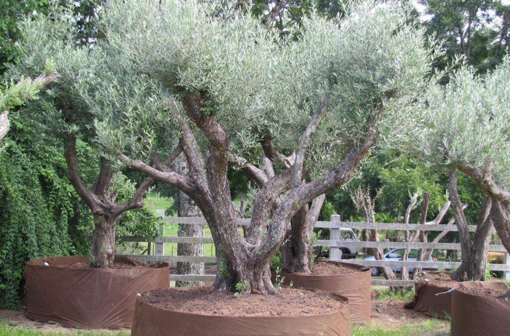 Sabia que a oliveira é uma das árvores mais longevas?