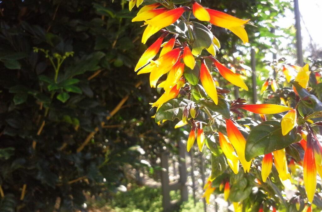 Farroupilha é o nome de uma planta nativa