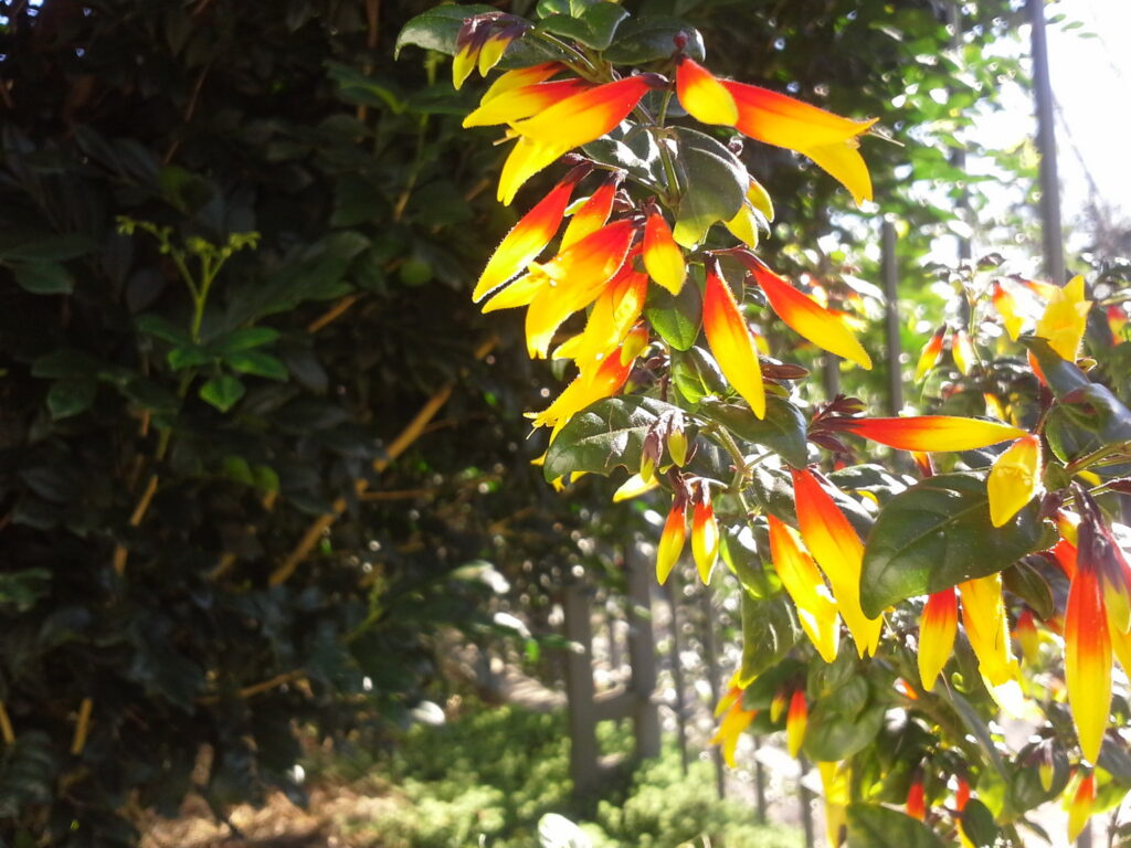Justicia floribunda - farroupilha