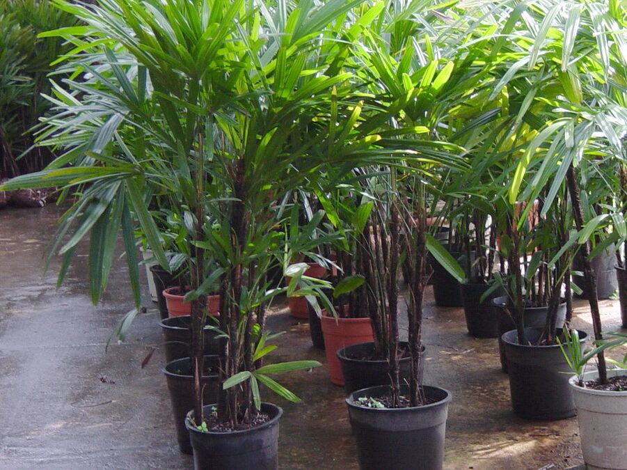 Quer ter uma palmeira dentro do apartamento? Cultive a Ráfis