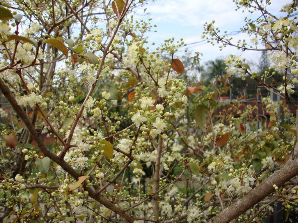 Eugenia uniflora floração
