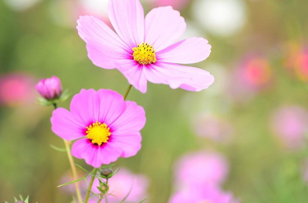 Dica de 3 flores cor-de-rosa em homenagem ao Outubro Rosa!