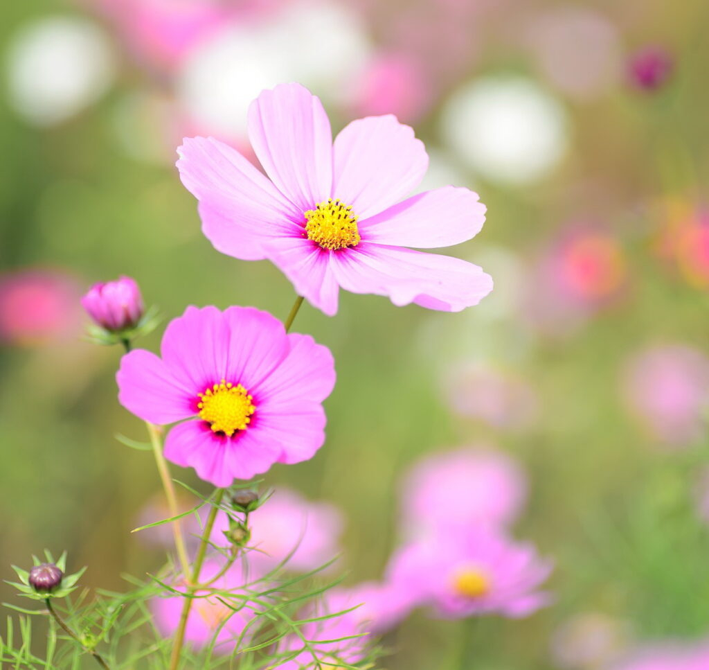 Cosmos, floração cor-de-rosa foto: Pixabay