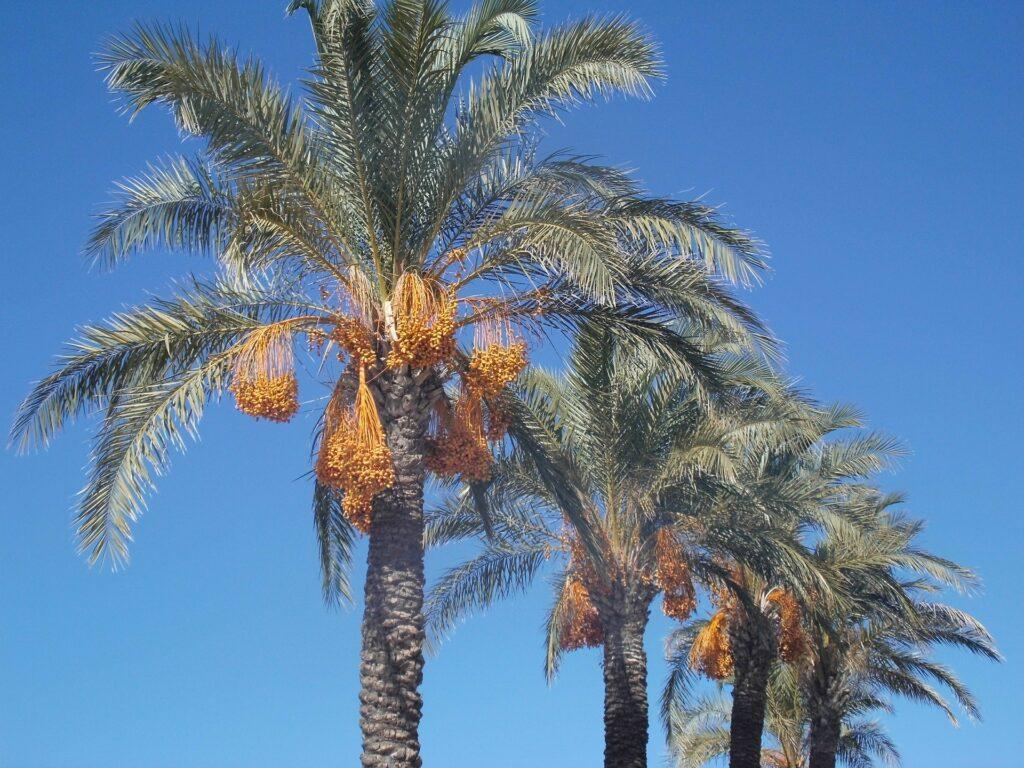 date-palms-532634_1920