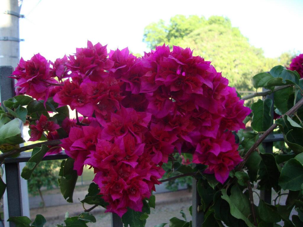 flores de bouganvilea