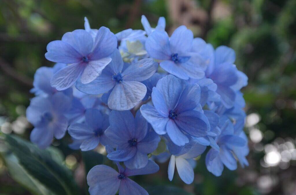 Novembro azul: veja flores azuis para o jardim