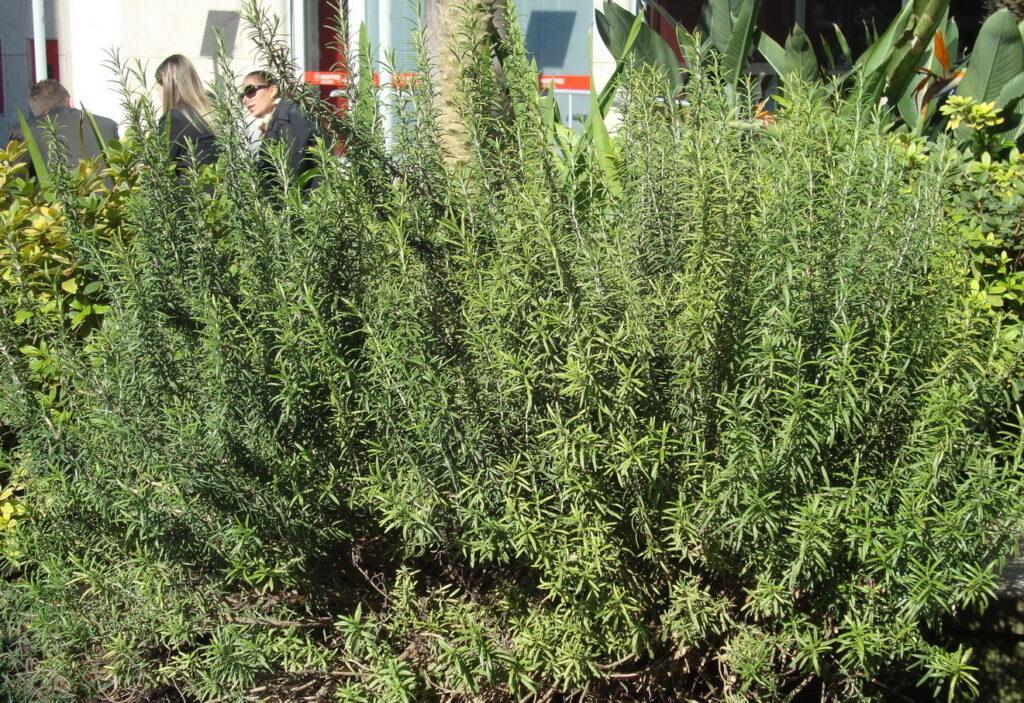 Rosmarinum officinallis - alecrim