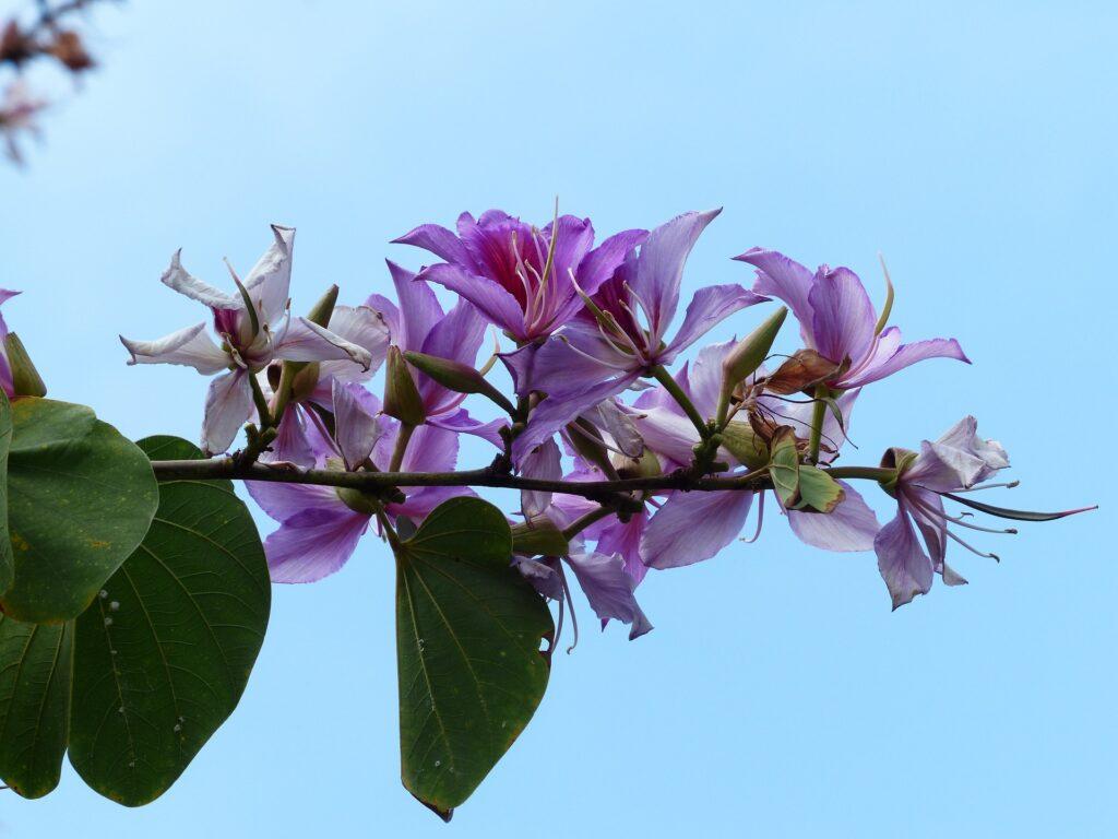 Árvore nativa Pata-de-vaca - Bauhinia candicans foto: Pixabay