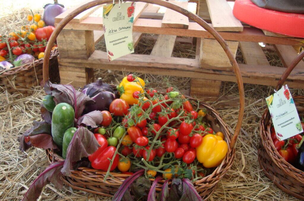 Colhendo tomates com os Chefs