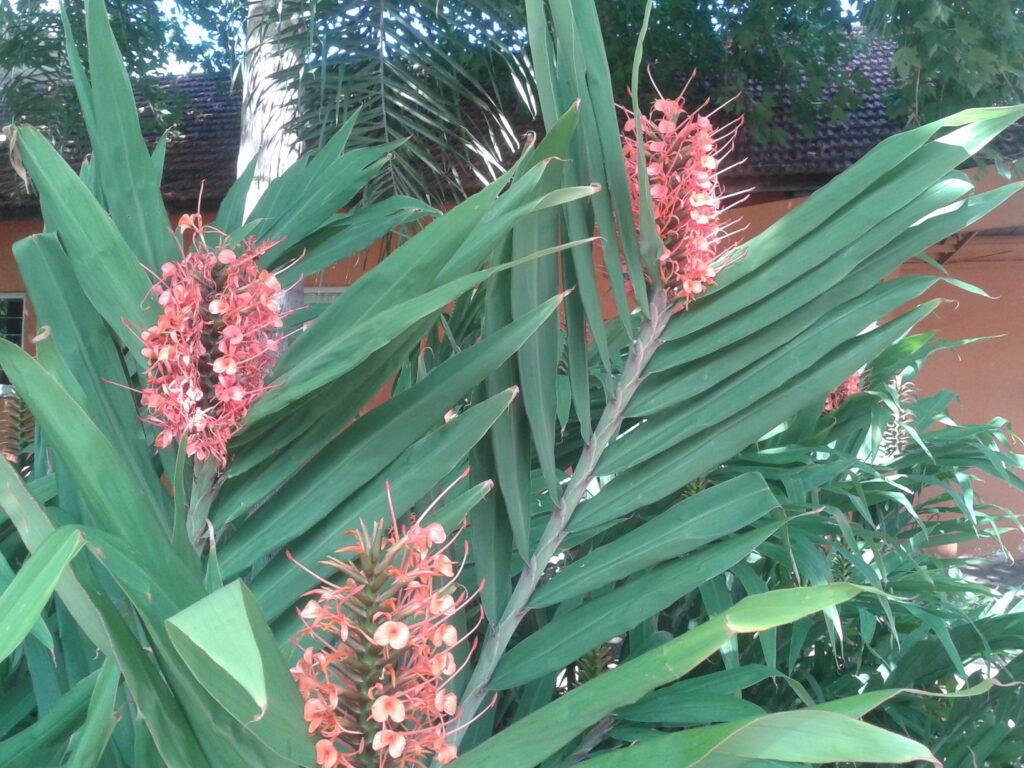 flor do gengibre vermelho